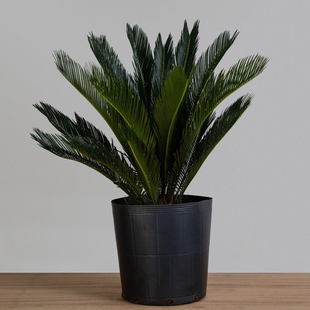 Palmeira Cycas Revoluta