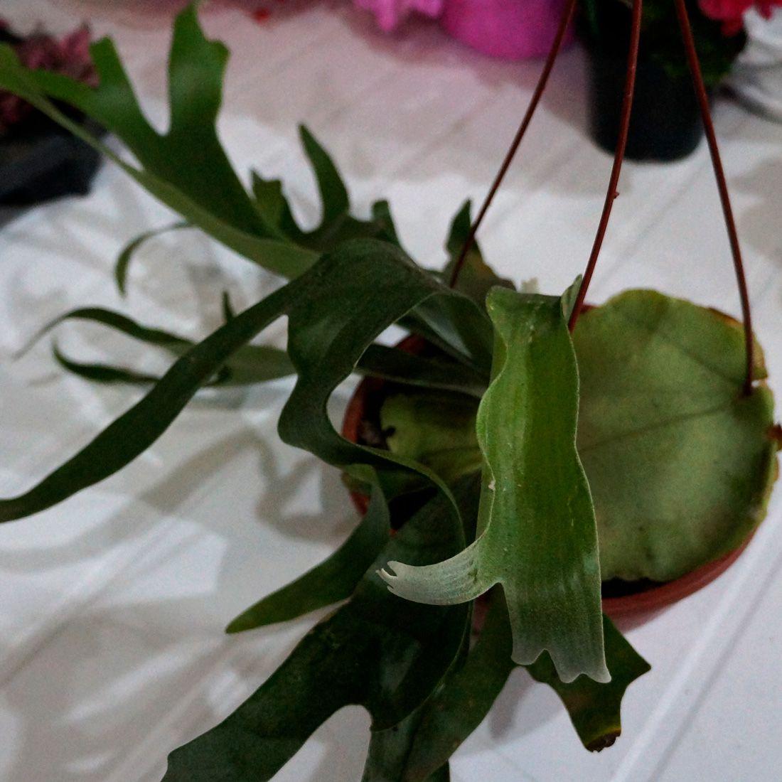 Platycerium Alcicorn