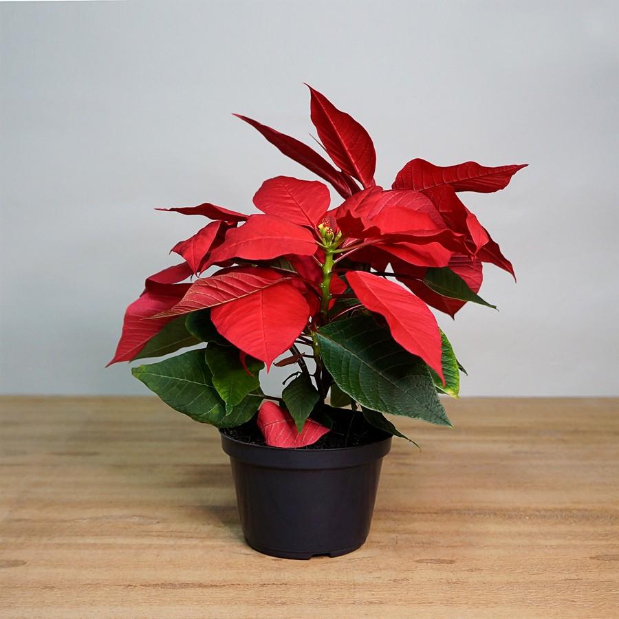 Poinsettia Mini PT 11 (Flor de Natal - Bico de Papagaio)