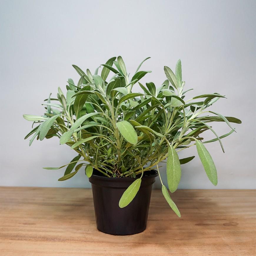 Salvia PT 15