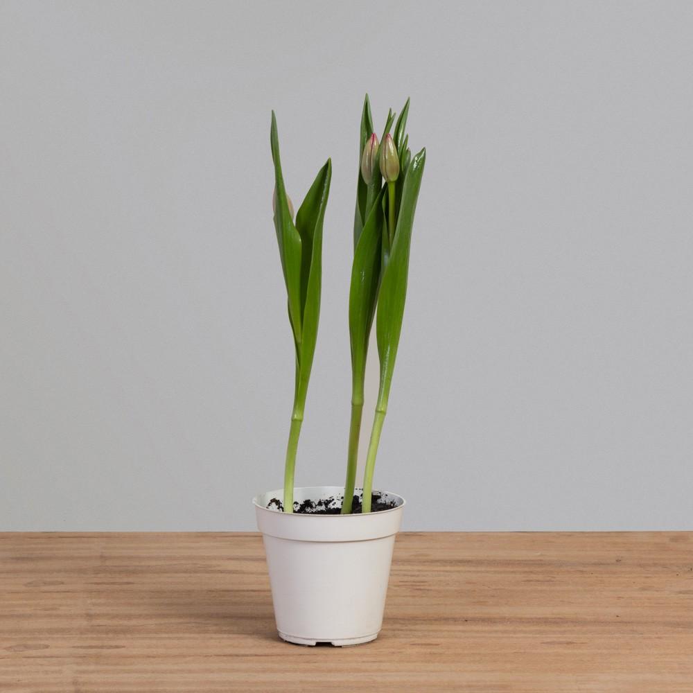 Tulipa PT12