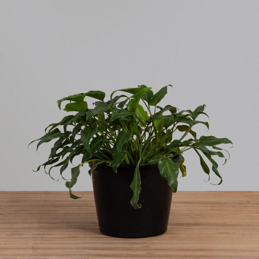 Philodendron Xanadu PT 20