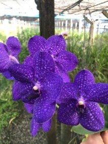 Vanda Pachara Delight