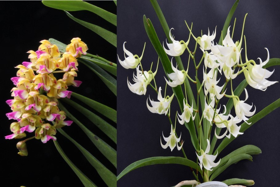 Aerides houlletiana x Sobennikoffia robusta