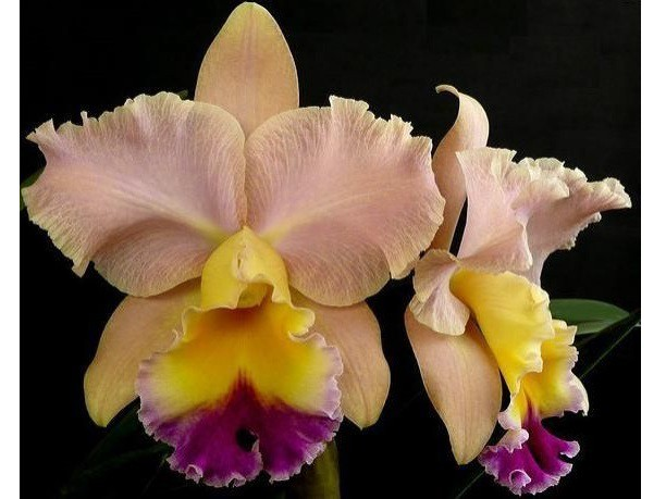 "BLC. Goldenzelle ""Saddle Peak"""
