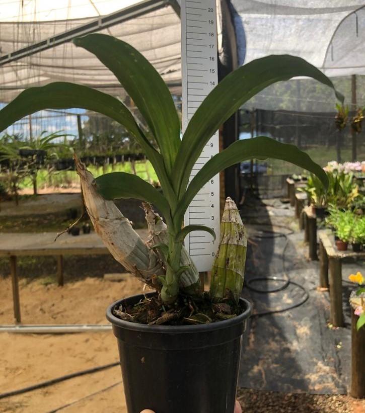 Catasetum complanatum