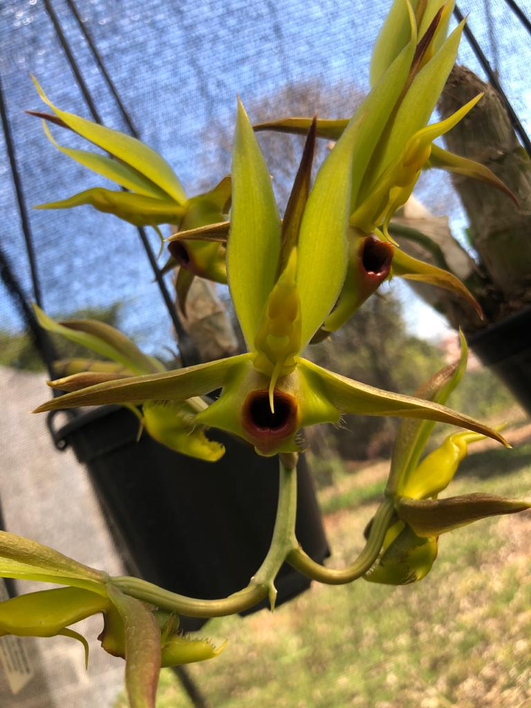 Catasetum osculatum
