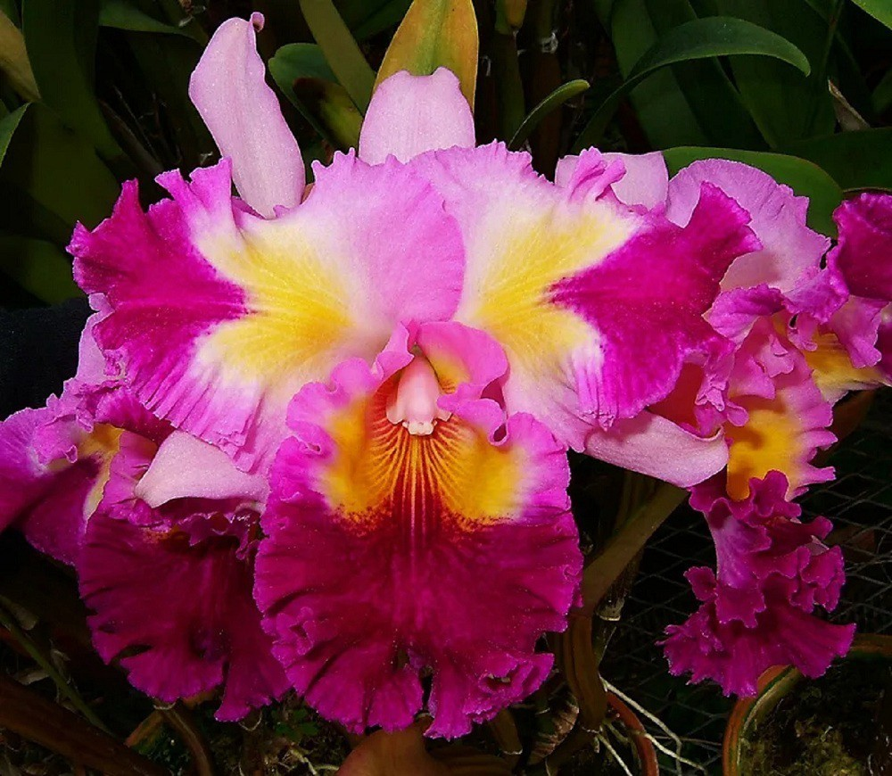 "Cattleya Color Guard ""Grand Parade"""