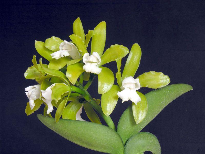 Cattleya leopoldii var. alba