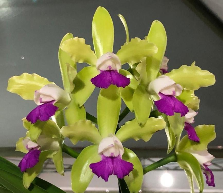 Cattleya leopoldii var. lilacina