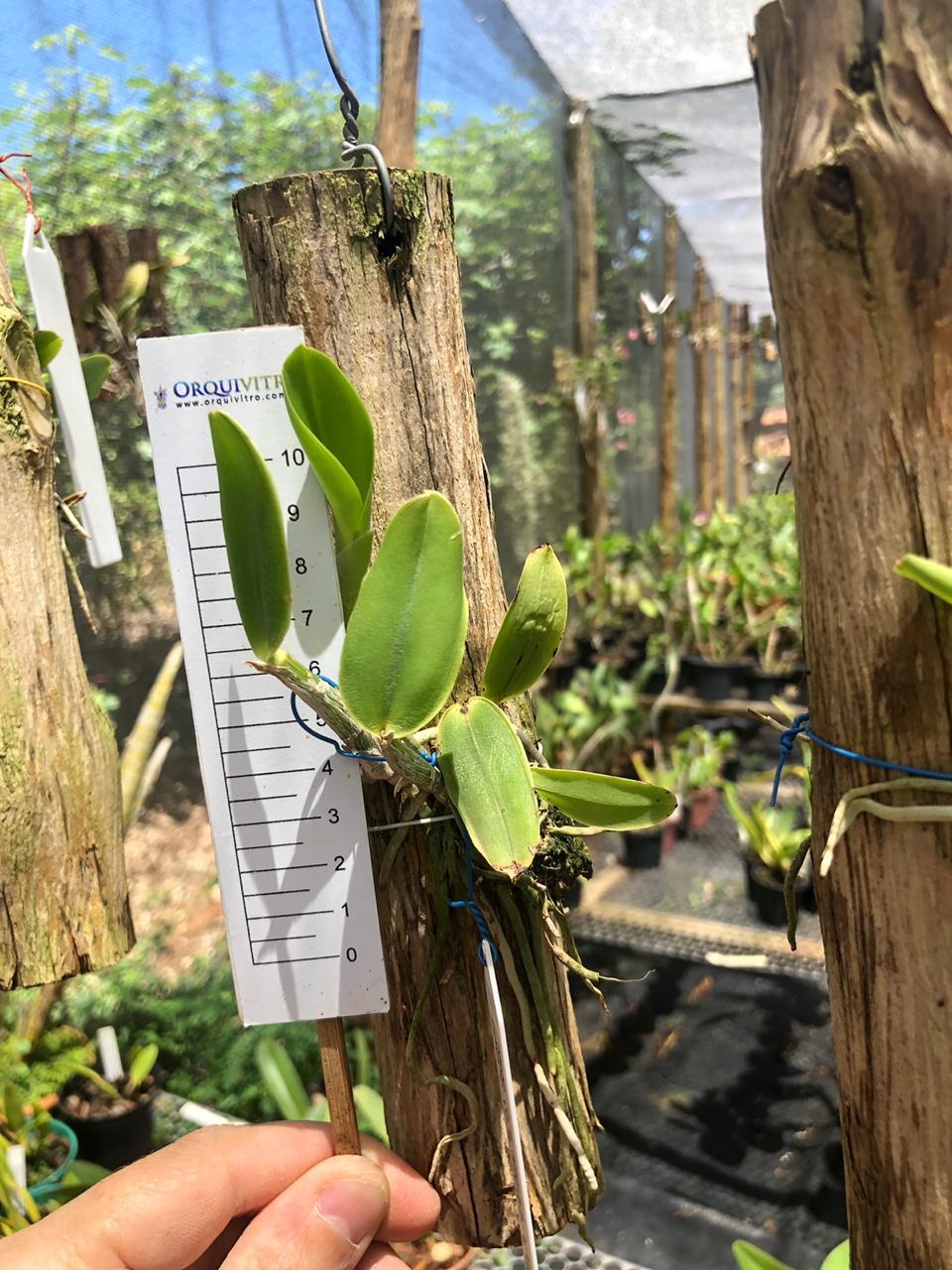 """Cattleya walkeriana semi-alba """"Rafaela Donato"""" x Cattleya walkeriana semi-alba """"Priscila"""""""