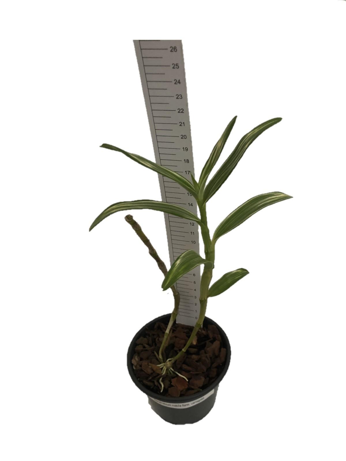 Dendrobium nobile form. variegata
