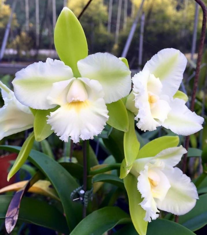 Epicattleya Siam Jade Ontario
