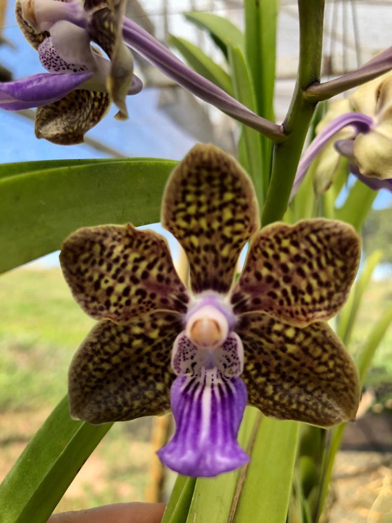 Orquídea Vanda Mini Palmer - Adulta
