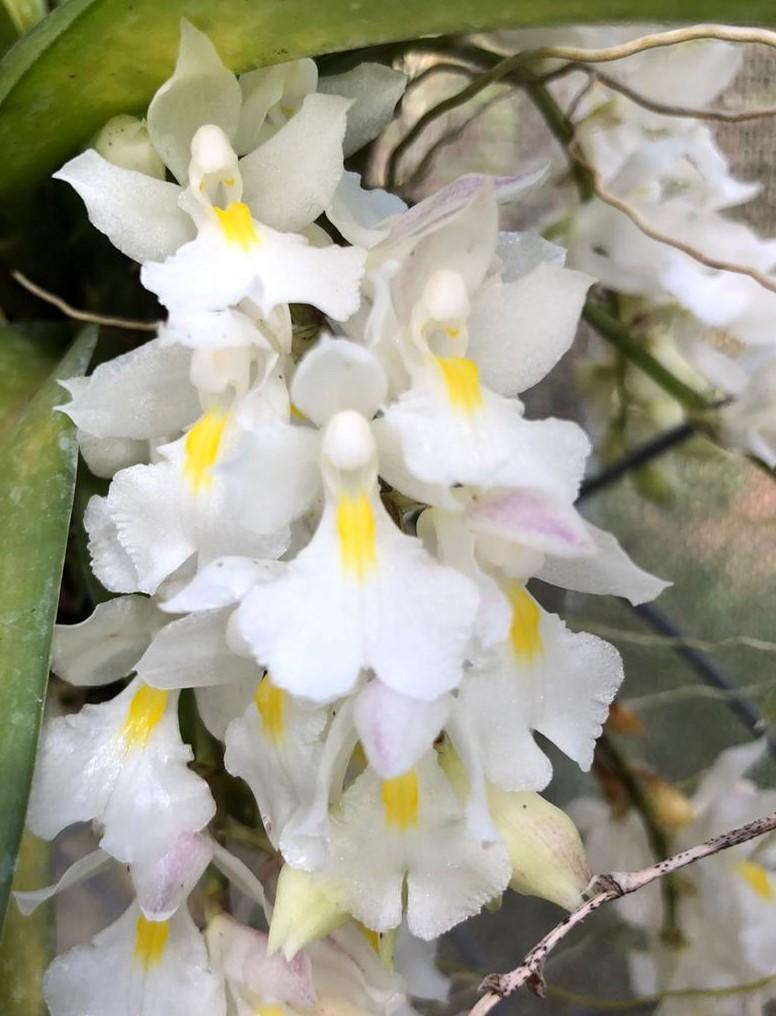 Rodriguezia venusta (toquinho de madeira)