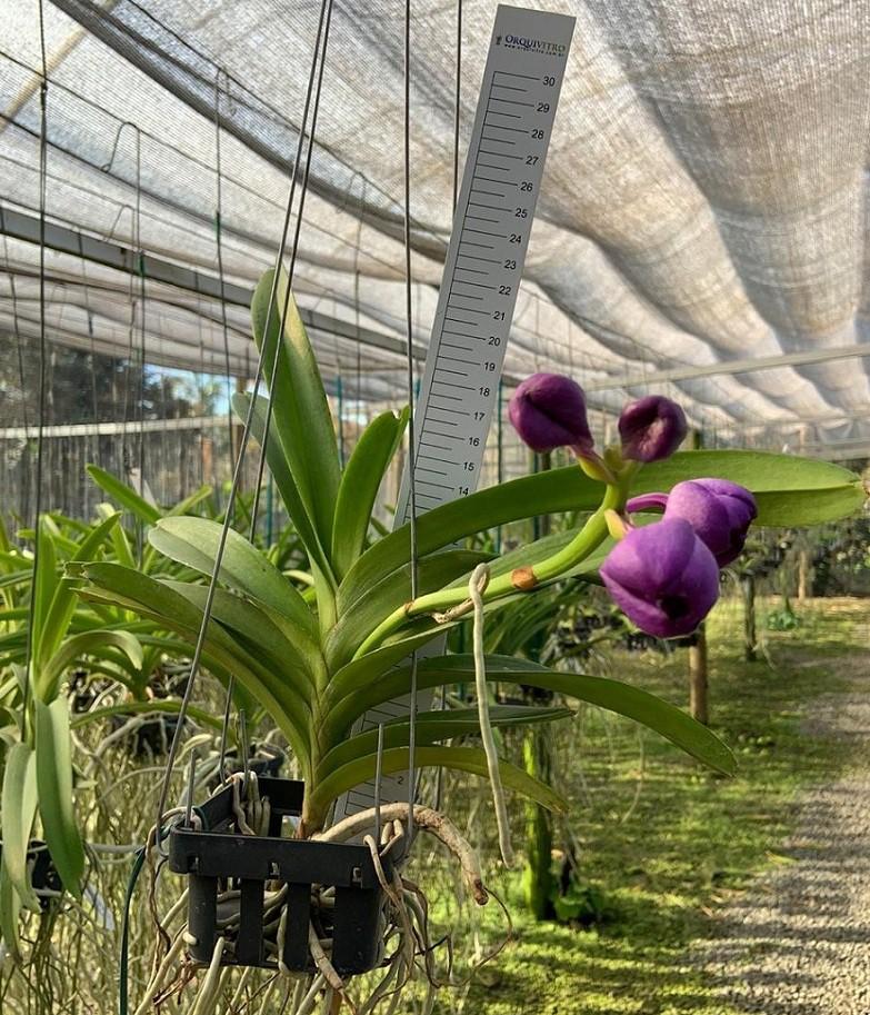 V. Miami Magic Purple Blue x V. Somsri Pink x V. Packchong Blue
