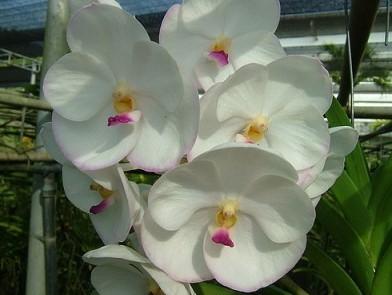 Vanda Adisak White x Ascocenda Muang Thong