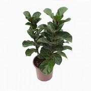 FICUS LIRATA -Ficus Lyrata