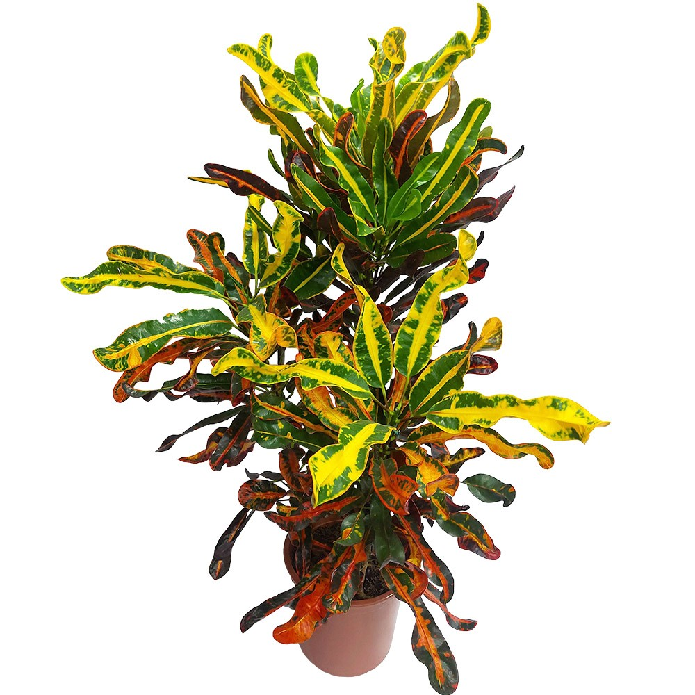 CRÓTON GINGHA - Codiaeum variegatum