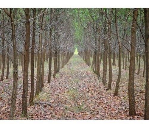 Acácia Australiana - 5 mil sementes