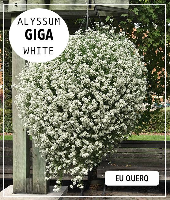 Doce Alyssum Giga White