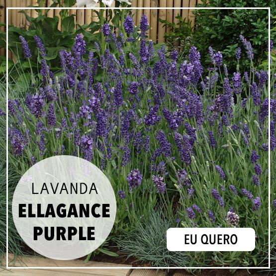 Lavanda Ellagance Purple