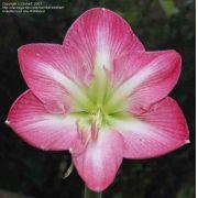 Amarílis Pink Impression