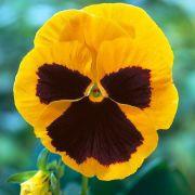 Amor Perfeito Gigante Amarelo