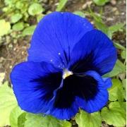 Amor Perfeito Gigante Azul
