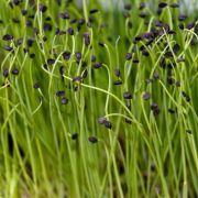 Cebolinha (Microverdes)