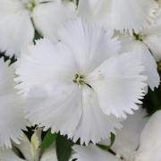 Cravina Corona White