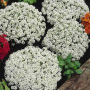 Doce Alyssum Carpet of Snow (Flor de Mel)