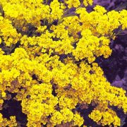 Doce Alyssum Golden Yellow (Flor de Mel)