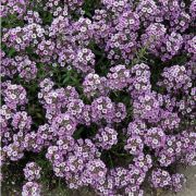 Doce Alyssum Lavender Shades (Flor de Mel)