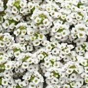 Doce Alyssum Snow Crystals