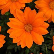 Gazânia New Day Orange