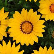 Gazânia New Day Yellow