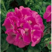 Gerânio Maverick Pink