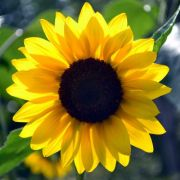 Girassol Amarelo Alto