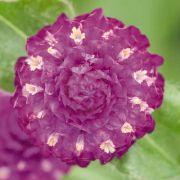 Gomphrena Buddy Purple (Perpétua)