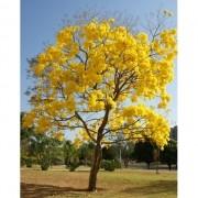 Ipê Amarelo da Mata