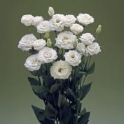 Lisianto Croma White (lisianthus)