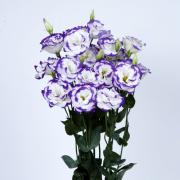 Lisianto Echo Blue Picotee (lisianthus)