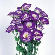 Lisianto Mariachi Blue Picotee (lisianthus)