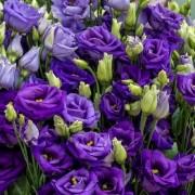 Lisianto Rosita Blue (lisianthus)