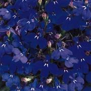 Lobélia Riviera Marine Blue