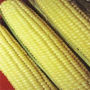 Milho Verde Híbrido Itapuã