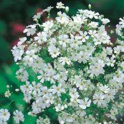 Mosquitinho Branco (Véu de noiva)