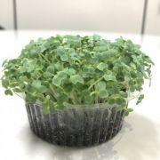 Mostarda Lisa (Microverdes)
