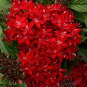 Pentas Lucky Star Dark Red